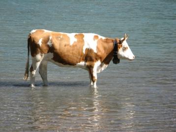 Kuh im Wasser drucksa.ch Lenzburg